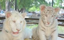 Tigres brancos do Zoológido de Lujan