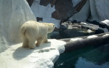Urso Polar no Sea World de San Diego