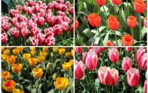 As maravilhosas tulipas. Algumas parecem que foram pintadas a mão