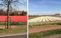 Algumas plantações vistas do ônibus no trajeto até Keukenhof