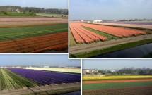 Plantações de flores no caminho até Haia