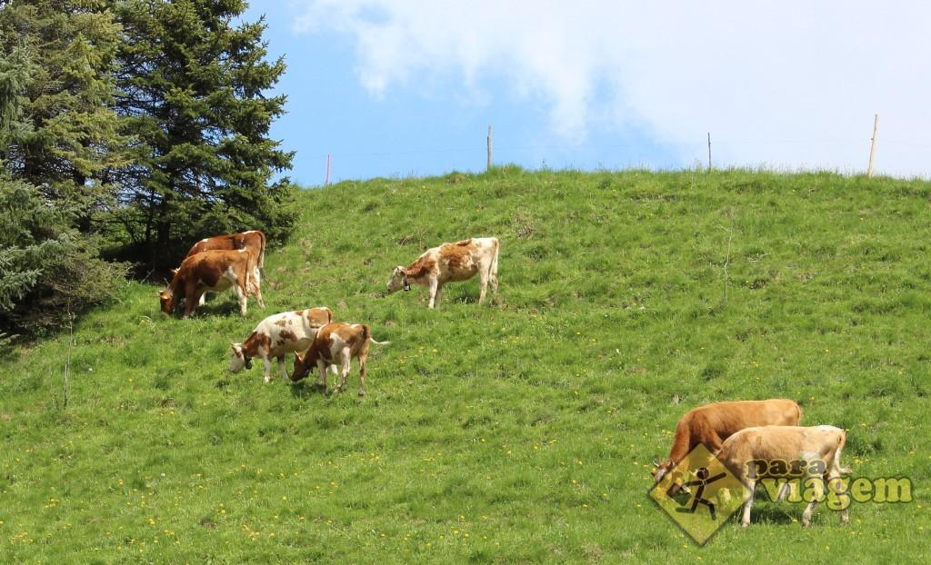 As tradicionais vaquinhas pastando com sinos pendurados no pescoço