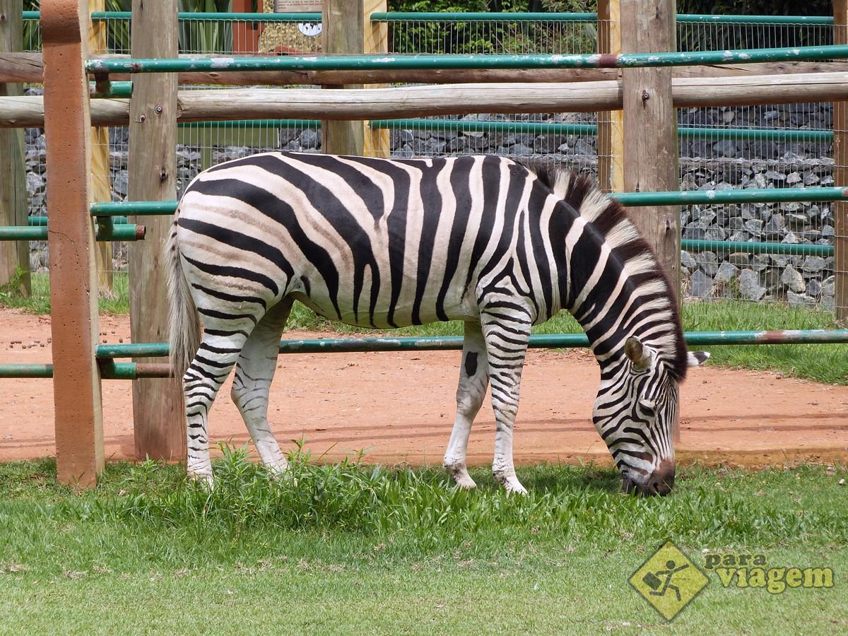 Zebra do Zoológico do Beto Carrero
