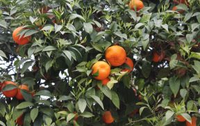 As tangerinas das árvores