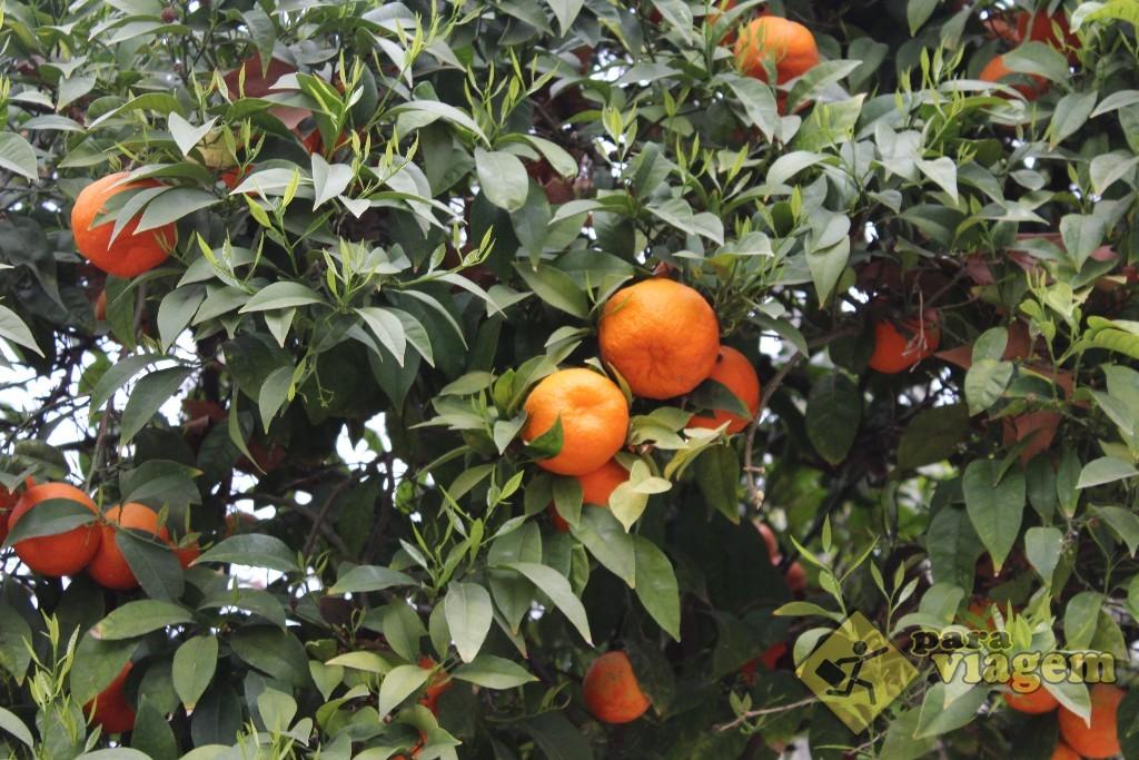 As tangerinas das árvores
