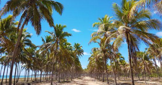 Coqueiral da Praia de Maracaípe