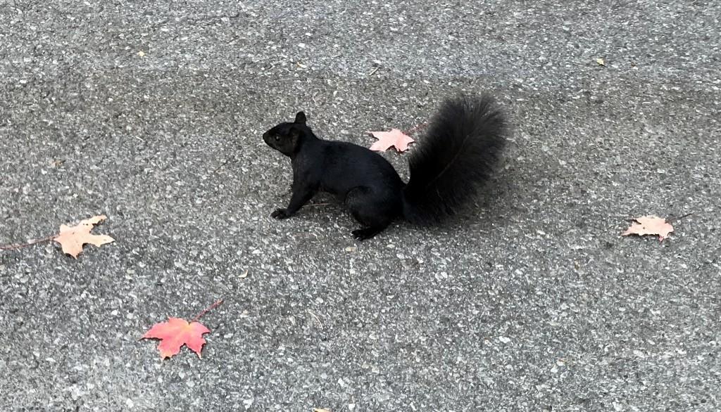 Esquilo no Canadá