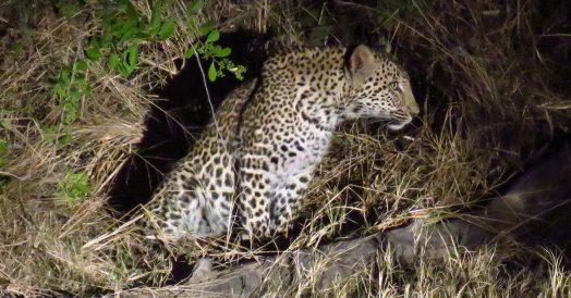 Leopardo em Safari na África do Sul Noturno