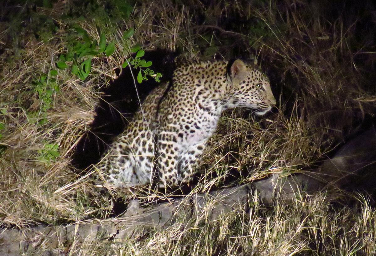 Leopardo em Safari Noturno no Kapama