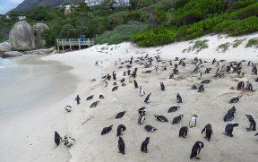 Pinguins nas areias de Boulders Beach