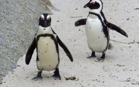 Pinguins de Boulders Beach no Detalhe