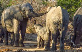 Família de Elefantes na Reserva do Kapama