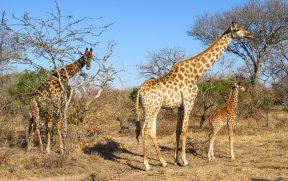 Família de Girafas no Kapama