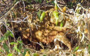 Família de Leões se Alimentando no Kapama