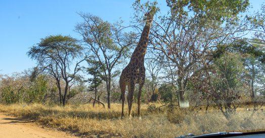 Girafa no Caminho até o Portão do Kapama