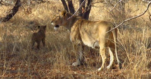 Leoa e Filhote na Reserva do Kapama
