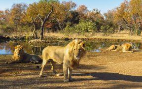 Leões Adultos no Ukutula