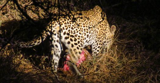 Leopardo se Alimentando na Reserva do Kapama