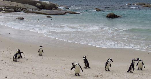 O que fazer em Cape Town: Boulders Beach