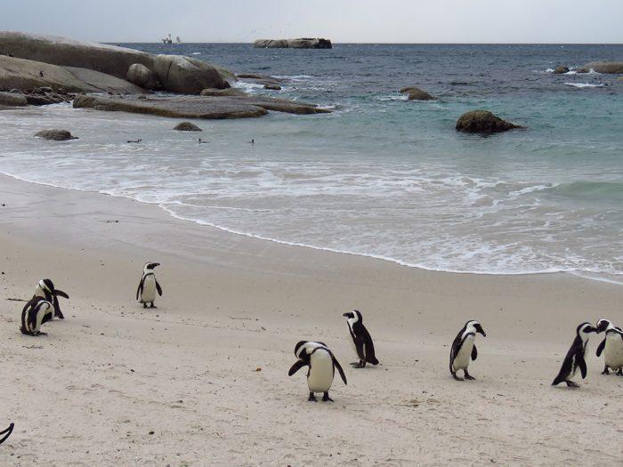 Colônia de Pinguins em Boulders Beach