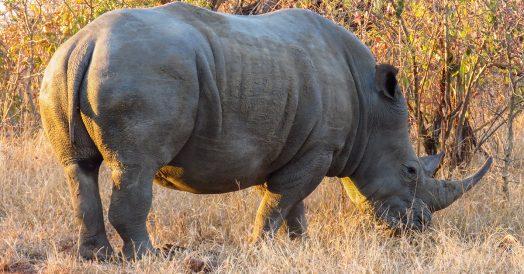 Rinoceronte no Safari do Kapama