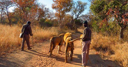 Bush Walk With Lions