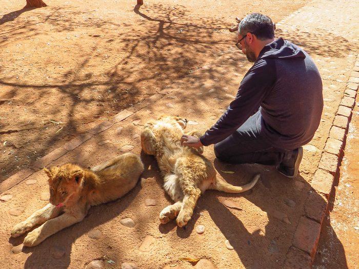 Acariciando Leões no Ukutula