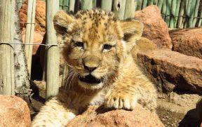 Leão de 7 Semanas no Ukutula