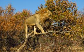 Leão Subindo em uma Árvore