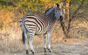 Zebra no Kapama Southern Camp