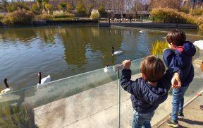 Crianças alimentando os cisnes no Parque Bicentenário