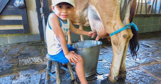 Criança tirando leite da vaca