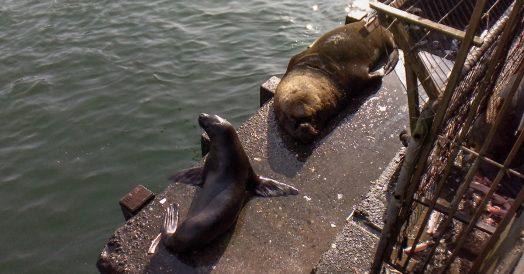 Leão marinho e foca ao lado do mercado