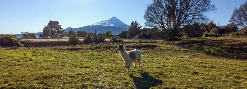 Lhamas na estrada com o vulcão Osorno ao fundo